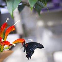 Черная бабочка :: Светлана Белова (Груздева)