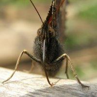 Бабочка :: Michael V. Beltyukov
