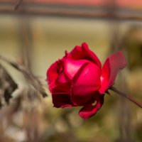 Одинокая роза :: Владислав Алекс