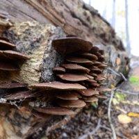 Древесные грибочки.. :: Анастасия Якушева