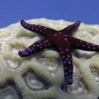Маленькая морская звезда. :: Марина Трейер