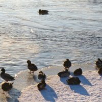 морозоустойчивые утки :: Елена