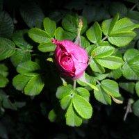 роза :: Евгения Латунская