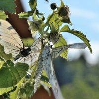 Малина цветет :: Viacheslav