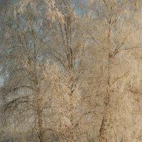 берёзы в снегу :: Виталий Волков