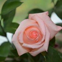 роза :: Мария Береговая