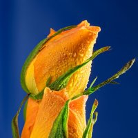 Розы :: Александр Максимов