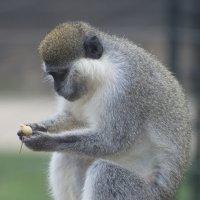 Green monkey :: Маргарита Лапина