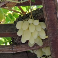 Дозревает критский виноград :: Алексей Меринов