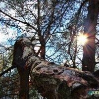 Сломанное дерево :: Станислав Пересыпкин