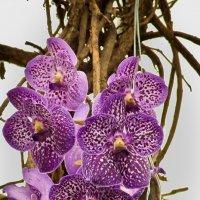 Орхидеи :: Александр Крупский