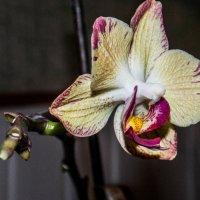 Орхидея :: Stefan Pinzsula