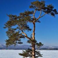 Сосна, стоящая на берегу. :: Сергей Адигамов