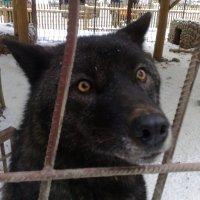 Пленная волчица. :: Сергей Тупало