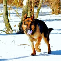 Зимний пес :: Dmitry Bulanov