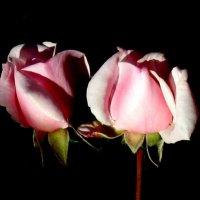 Пара роз. :: Надежда Ивашкина
