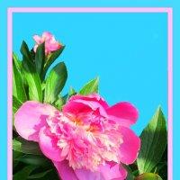 Розовый пион 5 :: Владимир Хатмулин