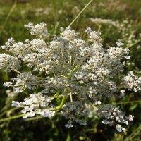 Полевые цветы :: Vika_B