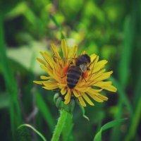 Пчелка :: Николай Филиппов