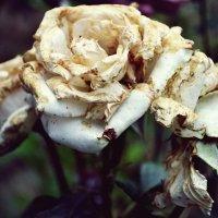 Розы :: Сабина Салиева