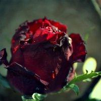 Роза :: Svetlana D