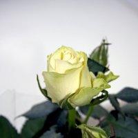 роза :: Надежда Шемякина
