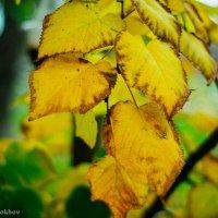 Желтые листья :: Андрей Мохов
