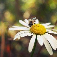пчела) :: Наташа Бойко