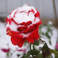 Снег на розе :: Владимир Оберемок