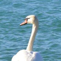 лебедь :: Katerina Sheglova