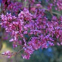 Online. Цветение иудиного дерева :: Владимир Сарычев