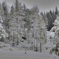 снежный лес :: Сергей