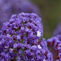 Фиолетовые цветочки :: Алекс Преображенский