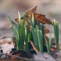 Первые , ранние  вестники Весны :) :: Елена Kазак