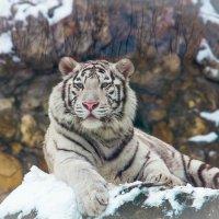 Красавец белый тигр :: Дмитрий Сушкин