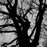 Черный дуб :: Элла Чуксина