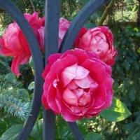"""роза сорта """"Херсонес"""" :: Olga Volkova"""