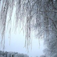 Седины берёзоньки :: Галина Шеина-Мюльдорфер