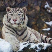 Зоопарк..Белый тигр :: Дмитрий Сушкин