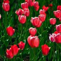 тюльпаны :: Евгений Фролов