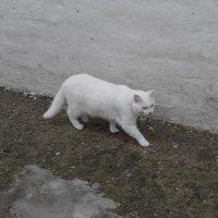 Белая киска :: esadesign Егерев
