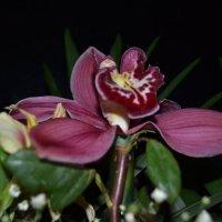 Орхидея :: Анна