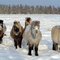 Лошадки якутской породы :: Maxim Unarov