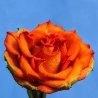 Увядающая роза :: Александр Ефименко