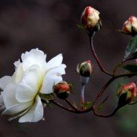 Роза белая. :: Ирина