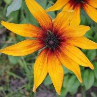 Цветок оранжевый :: Наталья Золотых-Сибирская