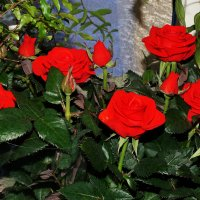 Розы :: Алексей Golovchenko