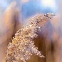 Метёлка болотной травы :: Олег Окселенко