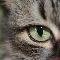 Глаза кошки ) :: Олег Фролов