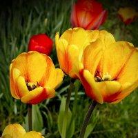 тюльпаны :: gribushko грибушко Николай